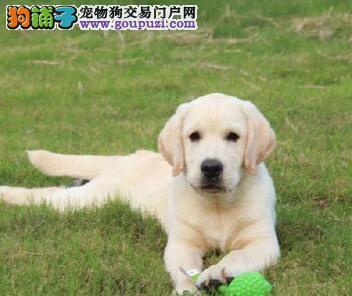 亳州专业的拉布拉多犬舍终身保健康狗贩子请勿扰