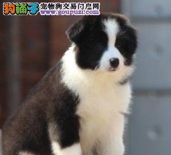 广州哪里买边牧幼犬最好 纯种边牧幼犬 健康保证
