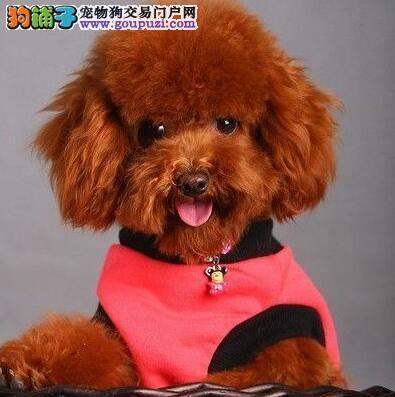 济南知名犬舍出售多窝纯正血统的贵宾犬 随时上门看狗