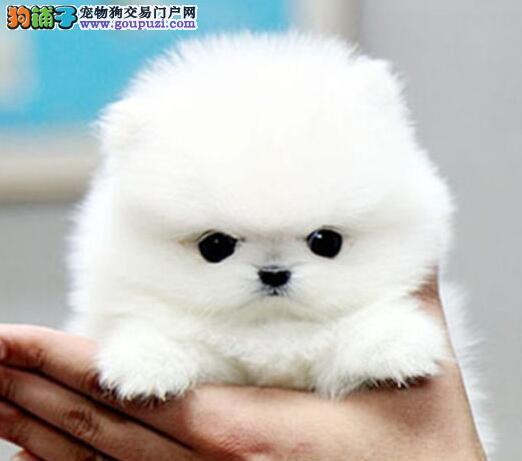 顶级优秀哈多利版博美犬出售 贵阳周边地区可免费送狗