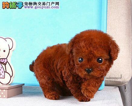 赛级品质韩系血统贵宾犬成都专业犬舍繁殖现低价出售