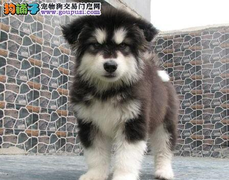 哈尔滨狗场直销巨型阿拉斯加犬包养活签合同