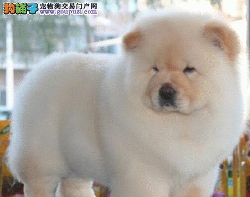 出售大嘴紫舌哈尔滨松狮犬包养活包售后