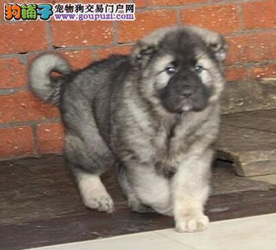 纯种大型猛犬高加索出售中