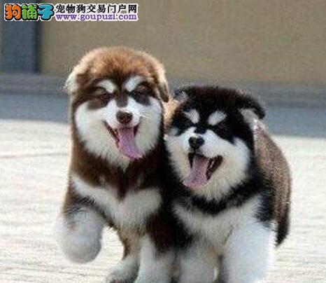 专业的阿拉斯加狗场出售纯种巨型拉宝宝