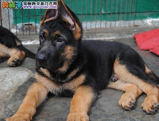 出售纯种健康的德国牧羊犬幼犬微信咨询看狗狗视频