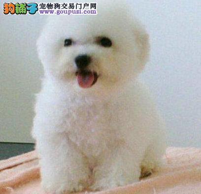 繁育中心直销苏州比熊犬 可签订正规购犬合同