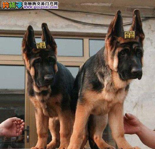 纯种健康信誉三年协议质保德国牧羊犬有保障