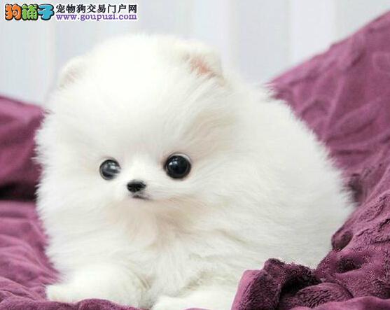 粉雕玉琢的济南博美犬低价出售 高品质低价格签协议