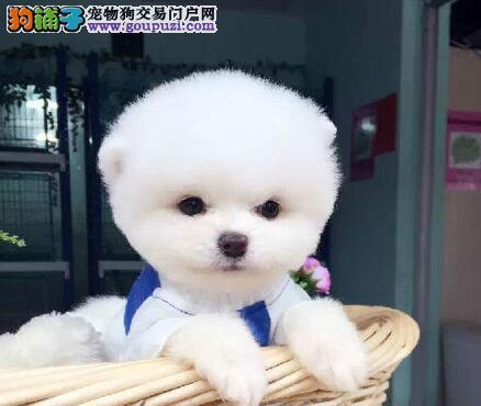 洛阳狗场出售哈多利超小体博美幼犬 可看父母可送货
