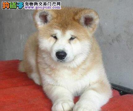 出售高品质日系血统洛阳秋田犬 保证书齐全多窝可挑选