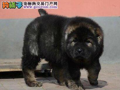 低价直销出售熊版高加索犬 淄博周边免费送货上门