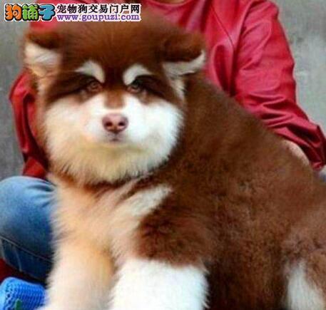 狗场直销济南阿拉斯加雪橇犬好品相质保出售