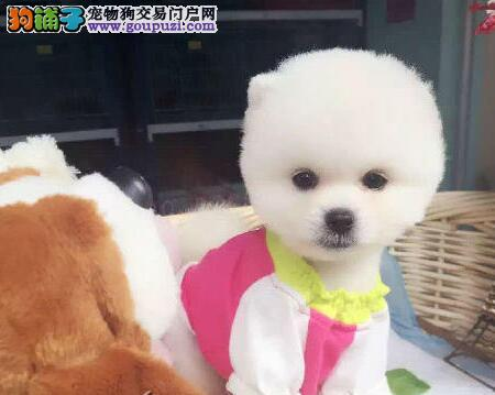 哈多利俊介血系的昆明博美幼犬找爸爸妈妈 品相超级棒