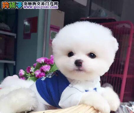 实物拍摄的博美犬找新主人期待您的咨询