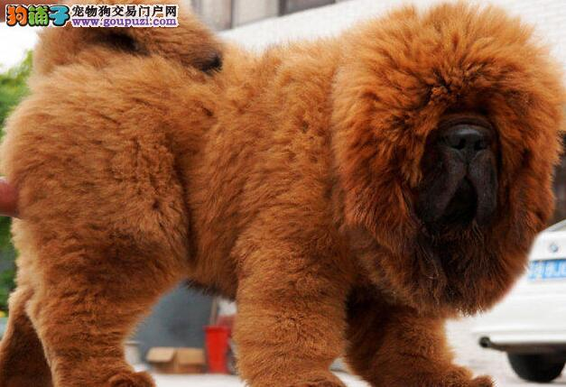 诚信交易特价出售原生态上海藏獒 有问题可包邮退换