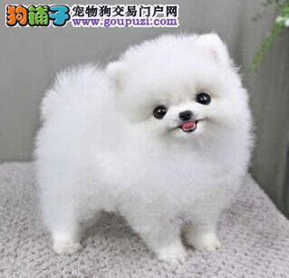 犬舍特价出售赛级博美犬桂林周边地区购买送狗粮