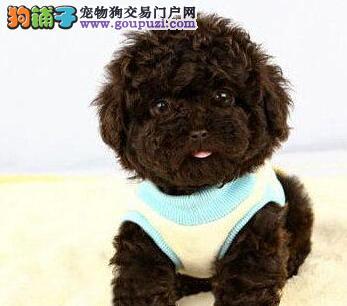 出售双血统韩系合肥泰迪犬 低价出售颜色多样有证书