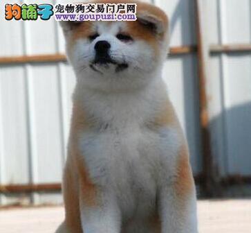 极品纯正的石嘴山秋田犬幼犬热销中金牌店铺有保障