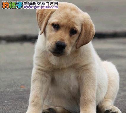 狗场直销顶级桂林拉布拉多犬疫苗齐全购买赠送芯片