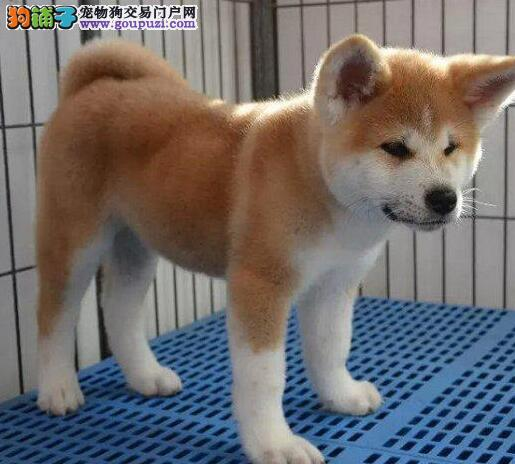 颜色全品相佳的秋田犬纯种宝宝热卖中赛级品质血统保障