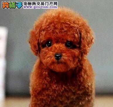正规狗场直销泰迪犬 杭州附近城市可免费包邮送狗