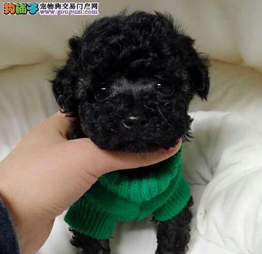 纯种贵宾泰迪犬,保证纯种和健康可以上门选狗