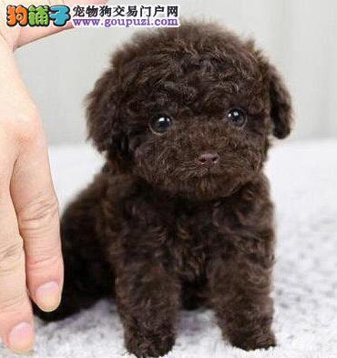 赛级品相哈尔滨泰迪犬幼犬低价出售终身售后协议