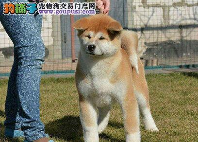洛阳正规犬舍出售秋田幼犬 加微信视频看狗 放心选购