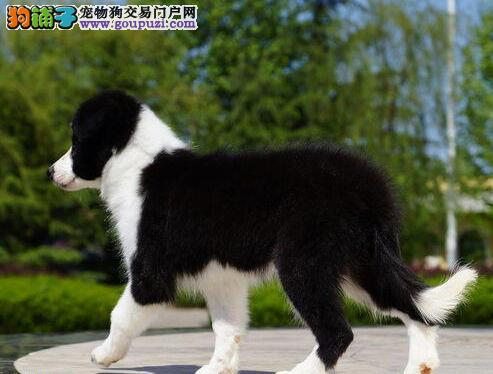 太原知名犬舍出售陨石色七白三通品相的边境牧羊幼犬