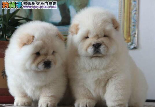 太原实体狗场出售肉嘴紫舌头品相的松狮犬 品相超级棒