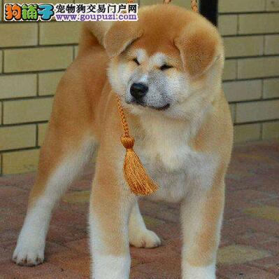 商洛自家养殖纯种秋田犬低价出售包养活送用品