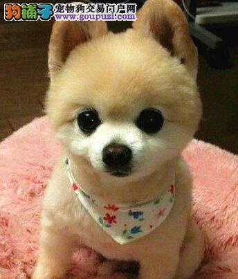博美犬宝宝热销中 疫苗齐全包养活 质保健康90天