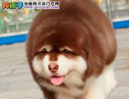 出售极品大骨架阿拉斯加雪橇犬 质量三包成都有实体店
