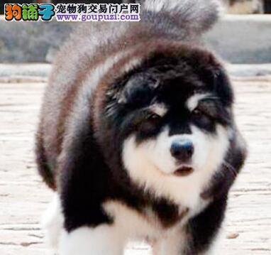转让纯种十字脸型的杭州阿拉斯加犬 爱狗人士不要错过