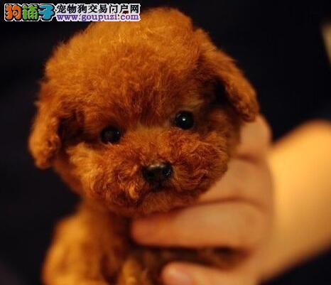 海淀自家狗场热销出售纯种韩系泰迪犬 血统纯正保纯度