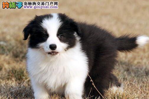 顶级优秀纯种七白宁波边境牧羊犬特价出售 可接受预定