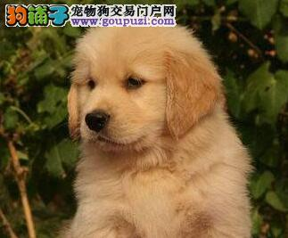 高品质金毛幼犬、一宠一证证件齐全、三包终生协议