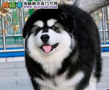 顶级优秀双十字宁波阿拉斯加雪橇犬热销中 价格优惠