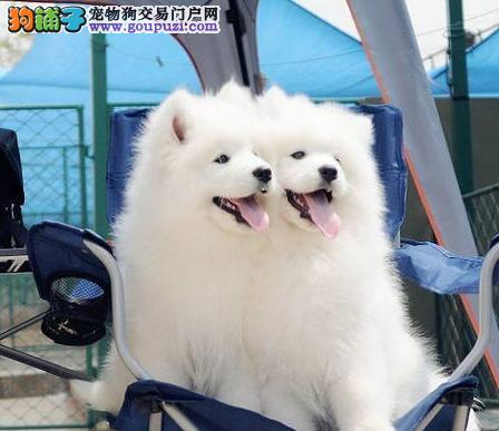 出售极品萨摩耶幼犬完美品相当日付款包邮