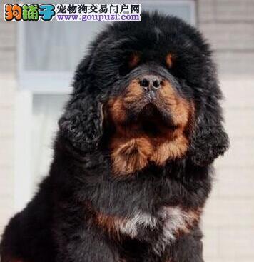 国际注册犬舍 出售极品赛级藏獒幼犬喜欢微信咨询