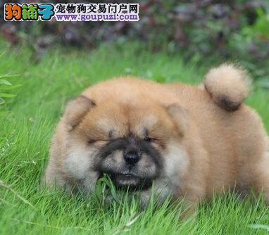 憨厚可爱的纯种松狮幼犬品质健康保证