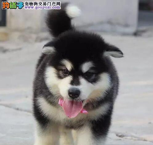 直销赛级阿拉斯加犬,保证血统纯度,质保健康90天
