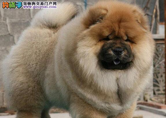 肉嘴紫舌头胖嘟嘟可爱的松狮犬找新家 成都市内送货