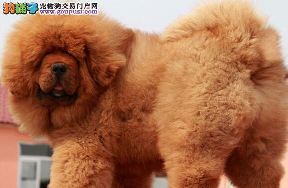 出售2个月大正宗铁包金狮头的藏獒幼犬