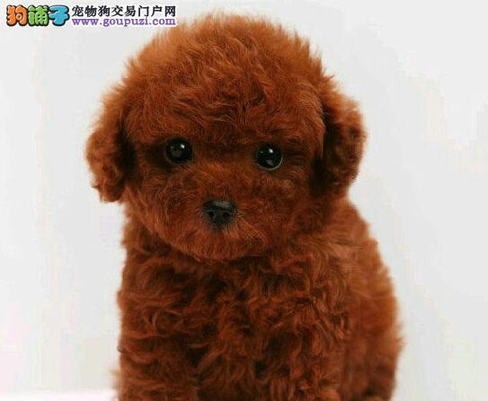 成都养殖基地出售六种颜色齐全的泰迪犬 请您放心选购