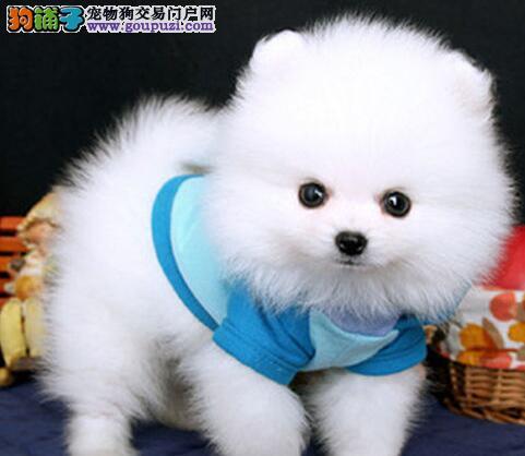看了我就点我 漂亮可爱小博美犬西安直销 韩国引进哦