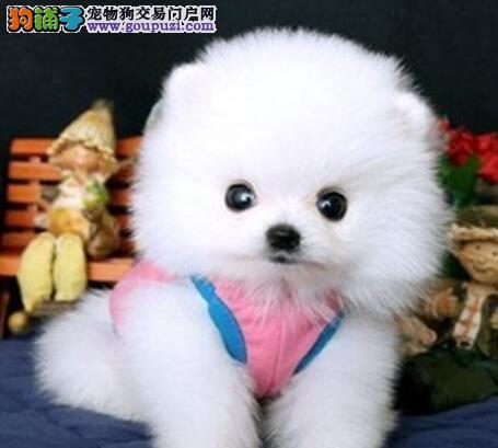 兰州出售博美犬颜色齐全公母都有微信看狗真实照片包纯