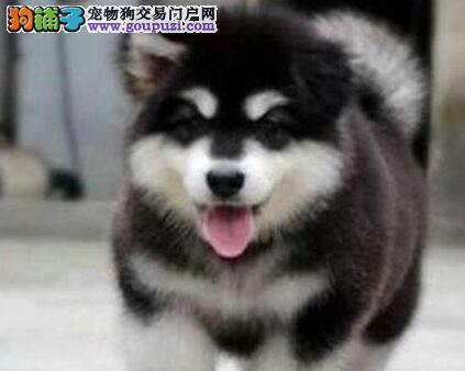 出售多种颜色曲靖纯种阿拉斯加犬幼犬可直接视频挑选