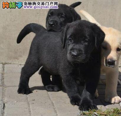 正规犬舍繁殖武汉纯种拉布拉多健康质保可签订协议
